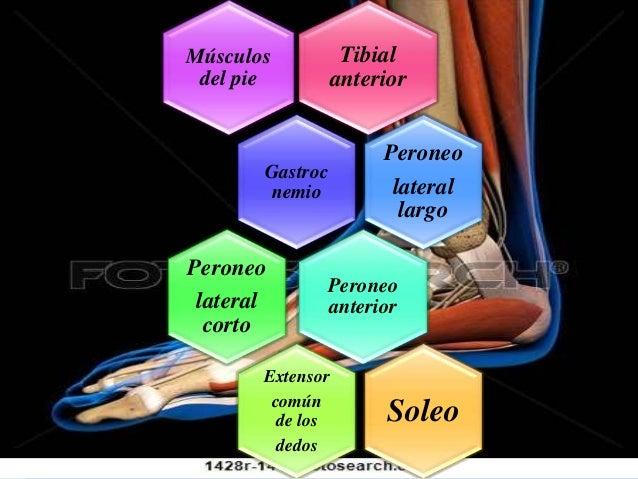 Tibial anterior Músculos del pie Gastroc nemio Peroneo lateral largo Peroneo anterior Peroneo lateral corto Extensor común...