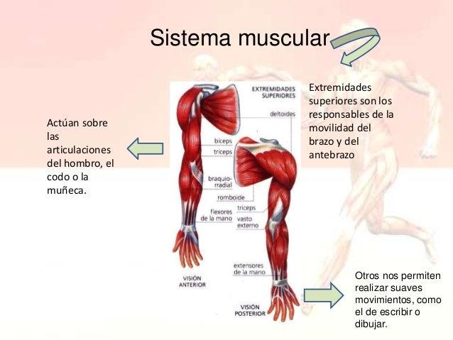 sistema-muscular-8-638.jpg?cb=1436113023