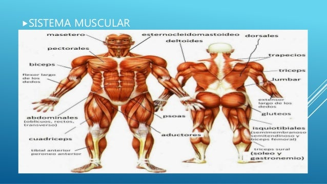 sistema-muscular-2-638.jpg?cb=1475461059