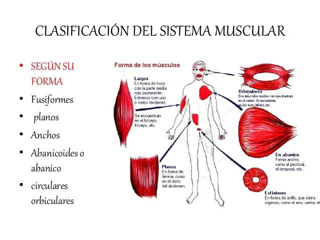 sistema-muscular-24-638.jpg?cb=1480337260
