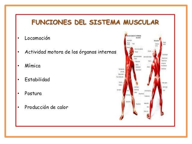 Sistema muscular tania alejandra gutierrez y andres felipe otalvaro