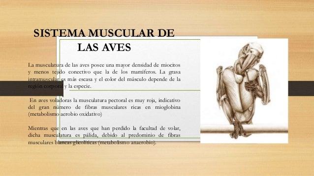Sistema Muscular De Las Aves