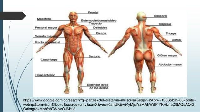 Sistema muscular diapositivas