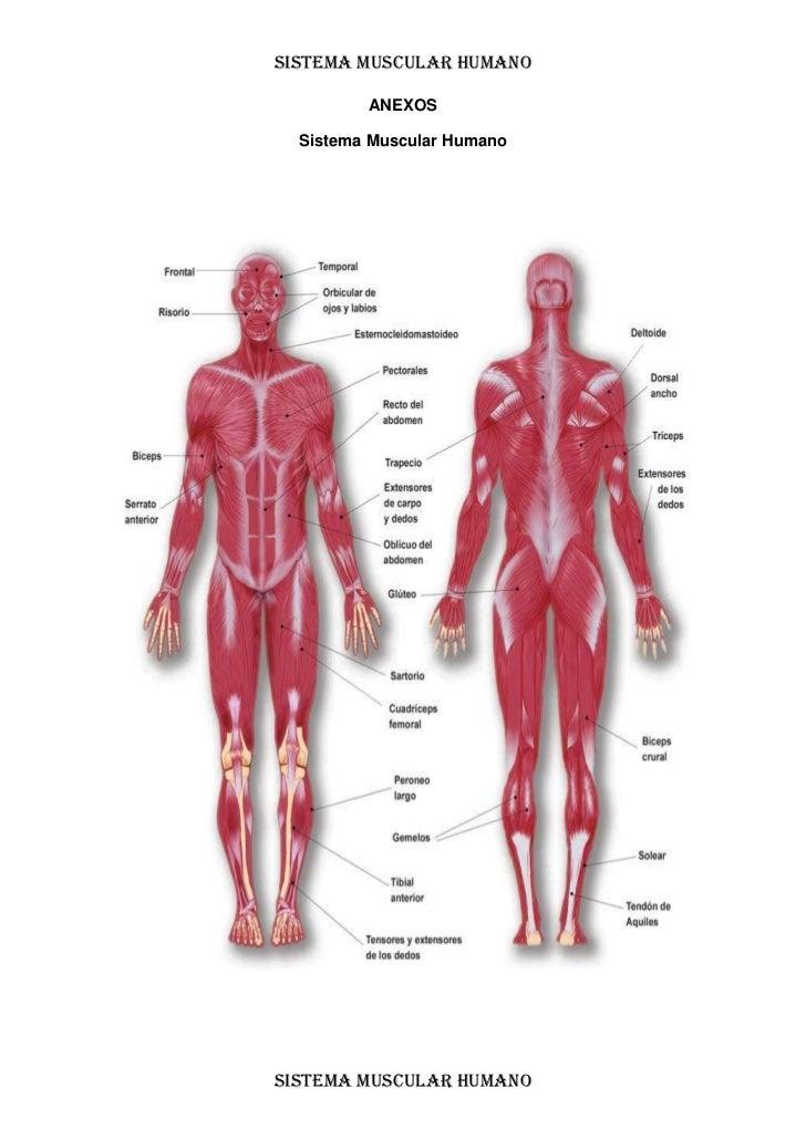 Sistema muscular humano lecto...