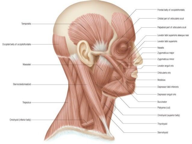 de facial expresion la musculos imagenes de