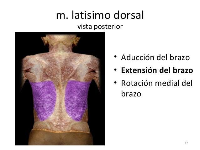 Sistema muscular (musculos que mueven la cabeza)