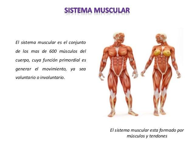 sistema-muscular-2-638.jpg?cb=1436058466