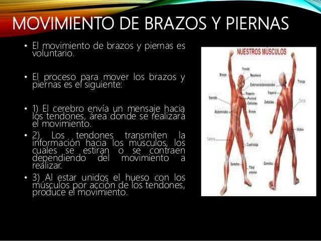 Sistema muscular sofia ppt