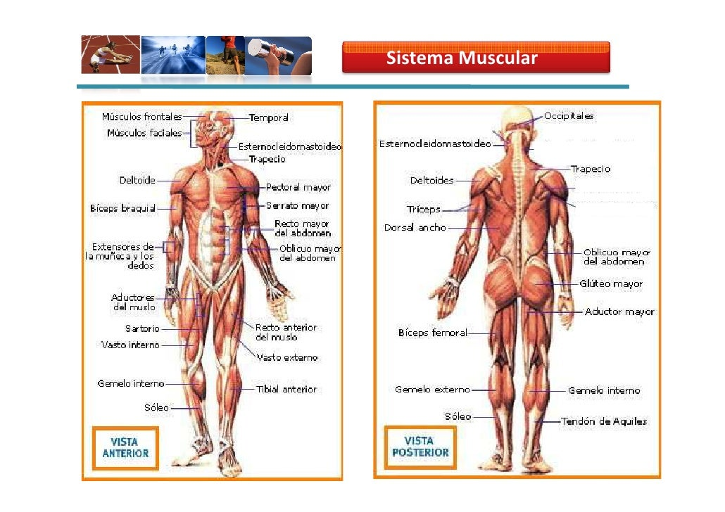 SISTEMA MUSCULAR HUMANO DOCUMENTAL COMPLETO