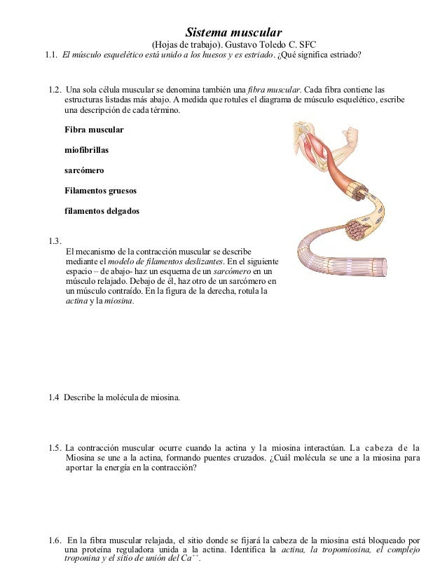 Sistema muscular ws 2012