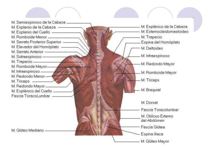 sistema-musculo-esqueletico-59-728.jpg?cb=1258470256