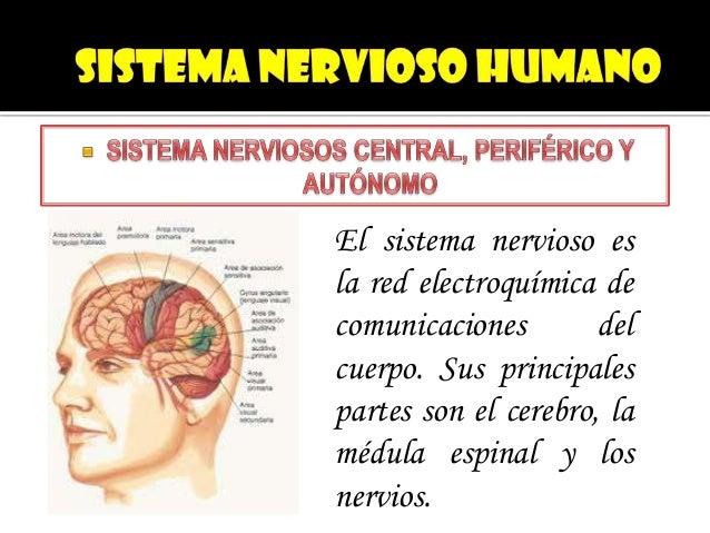 El sistema nervioso esla red electroquímica decomunicaciones        delcuerpo. Sus principalespartes son el cerebro, laméd...