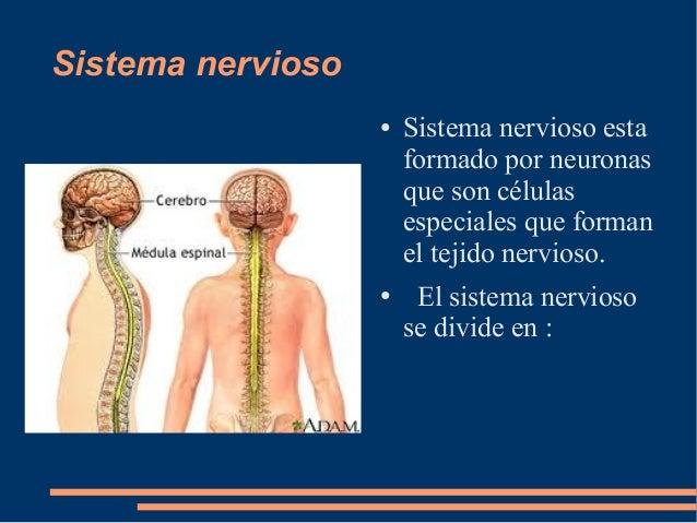 Sistema nervioso ● Sistema nervioso esta formado por neuronas que son células especiales que forman el tejido nervioso. ● ...
