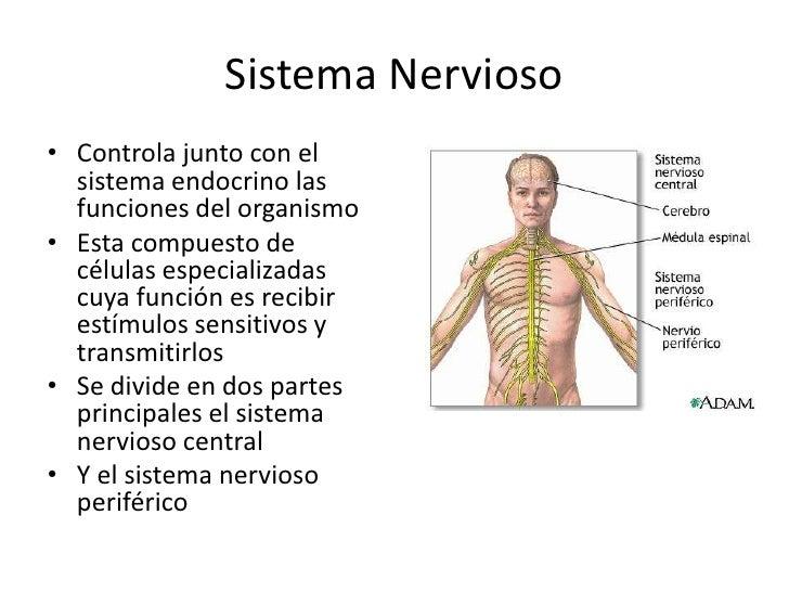 sistema-nervioso-8-728.jpg?cb=1316523012