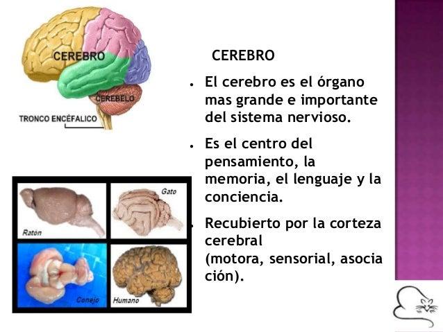 Sistema nervioso en mamíferos