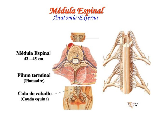Filum Terminale Cola De Caballo – Although its embryologic origin is unclear, it probably represents the termination of the neural tube and its most caudal link to the rest of the embryonic.