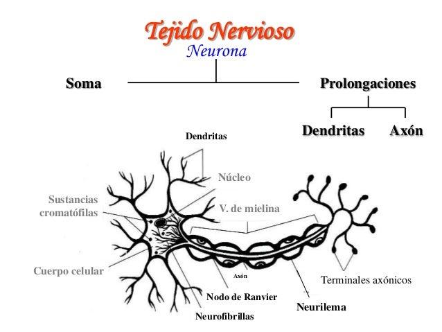 Sistema nervioso Slide 3