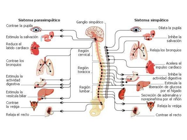Función general del sistema nervioso somático El sistema nervioso somático regula los movimientos de los músculos bajo con...