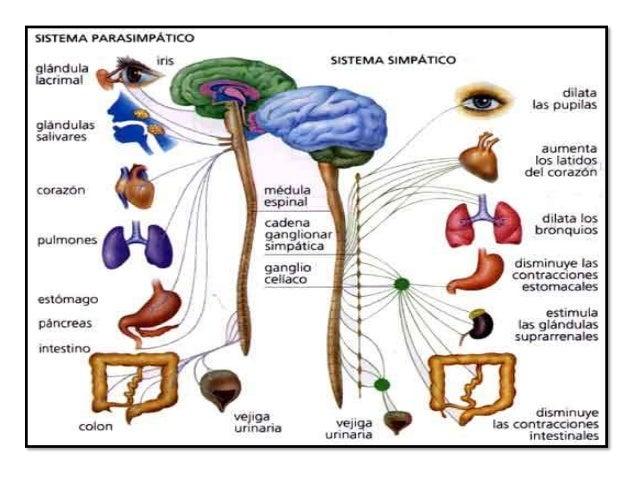 Funciones de las neuronas 1 Se comunican con precisión, rapidez y a larga distancia con otras células, ya sean nerviosas, ...