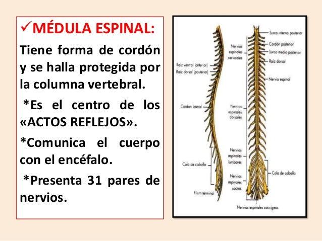 MÉDULA ESPINAL: Tiene forma de cordón y se halla protegida por la columna vertebral. *Es el centro de los «ACTOS REFLEJOS...