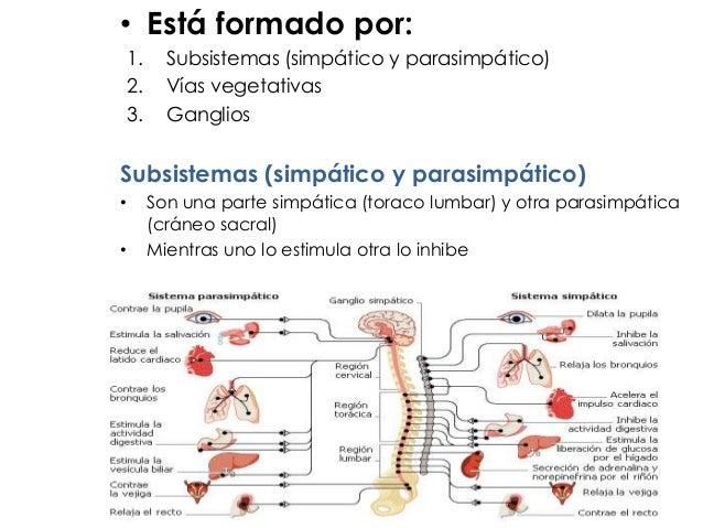 • Está formado por: 1. Subsistemas (simpático y parasimpático) 2. Vías vegetativas 3. Ganglios Subsistemas (simpático y pa...