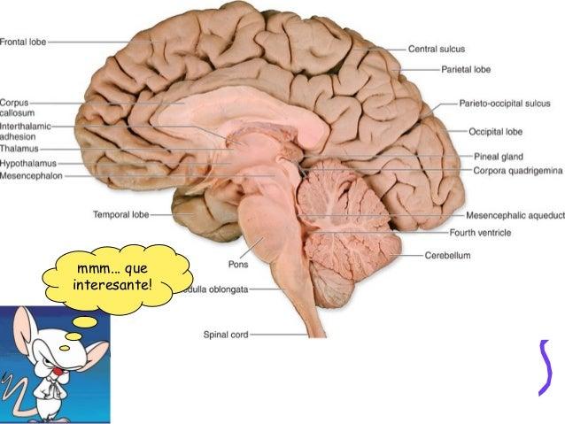 La médula espinal • Está contenida al interior de la columna vertebral; es un cordón nervioso de color blanco, cuya princi...