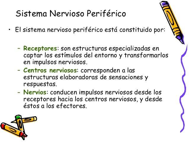 Nervios motores • Los nervios motores, transportan impulsos nerviosos desde el sistema nervioso central hacia los órganos ...