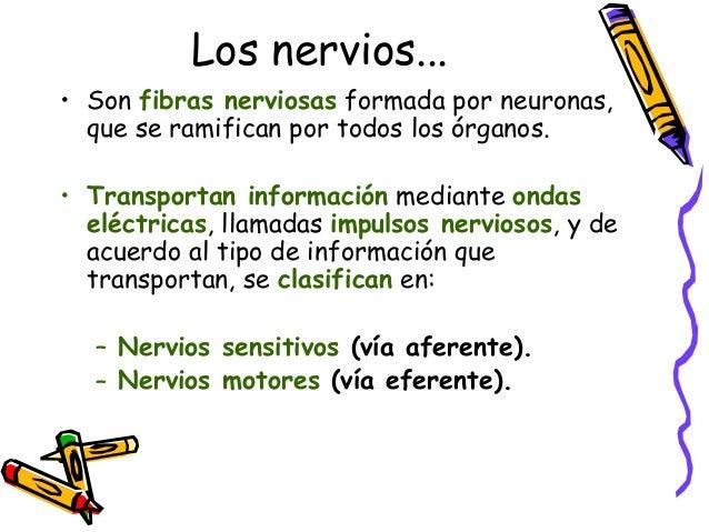 El sistema nervioso coordina tanto los movimientos voluntarios como los involuntarios. Pero...¿cualPero...¿cual es laes la...