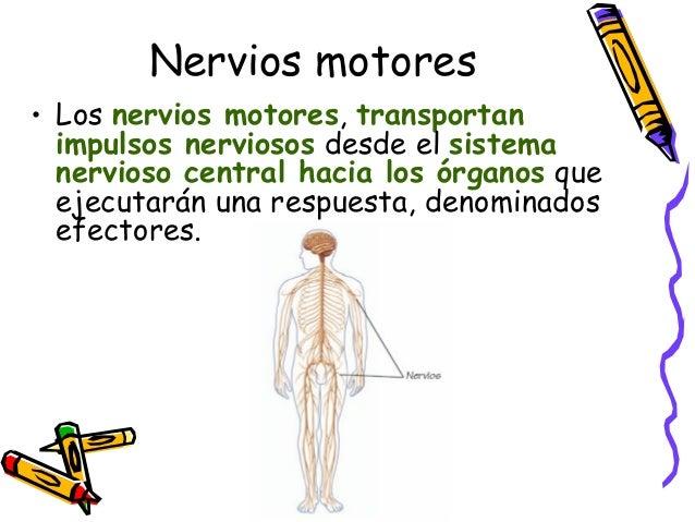 •Centro elaborador: elabora una respuesta adecuada al impulso nervioso que llegó a través de la vía aferente. •Vía eferent...