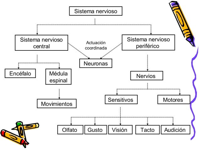 Sistema nervioso Sistema nervioso periférico Sistema nervioso central Encéfalo Médula espinal Movimientos Nervios Sensitiv...