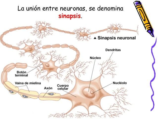La unión entre neuronas, se denomina sinapsis.