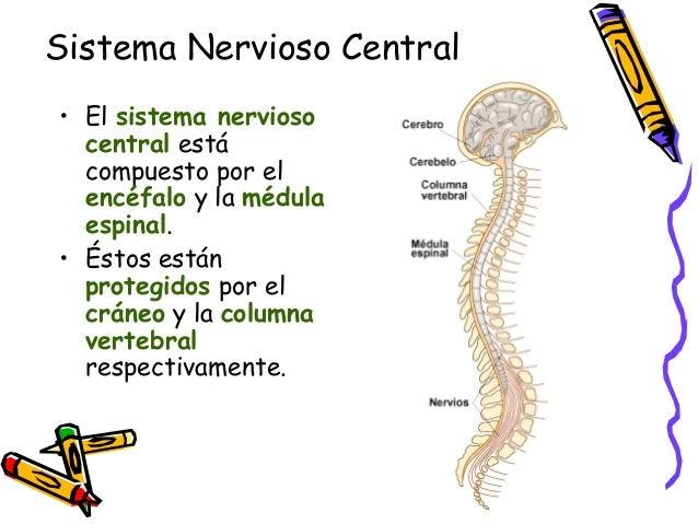 Sistema Nervioso Central • El sistema nervioso central está compuesto por el encéfalo y la médula espinal. • Éstos están p...