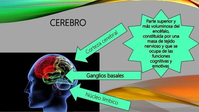 CEREBRO Ganglios basales Parte superior y más voluminosa del encéfalo, constituida por una masa de tejido nervioso y que s...