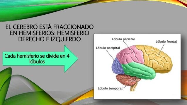 EL CEREBRO ESTÁ FRACCIONADO EN HEMISFERIOS: HEMISFERIO DERECHO E IZQUIERDO Cada hemisferio se divide en 4 lóbulos