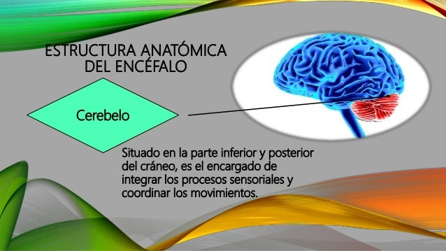 ESTRUCTURA ANATÓMICA DEL ENCÉFALO Situado en la parte inferior y posterior del cráneo, es el encargado de integrar los pro...