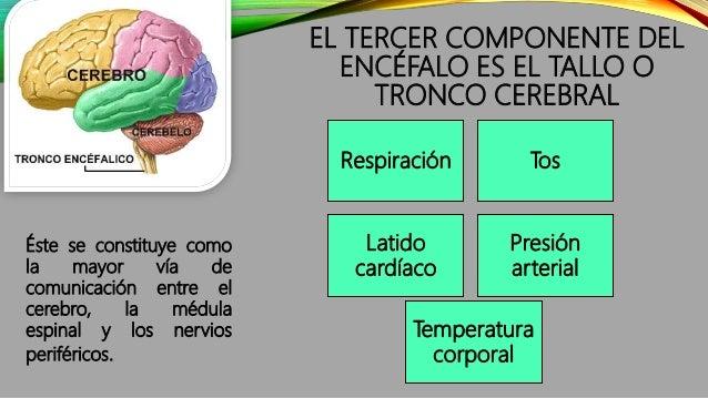EL TERCER COMPONENTE DEL ENCÉFALO ES EL TALLO O TRONCO CEREBRAL Éste se constituye como la mayor vía de comunicación entre...