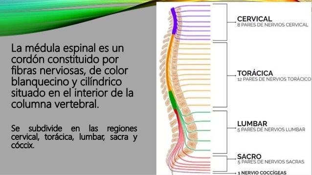 La médula espinal es un cordón constituido por fibras nerviosas, de color blanquecino y cilíndrico situado en el interior ...