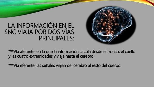 LA INFORMACIÓN EN EL SNC VIAJA POR DOS VÍAS PRINCIPALES: ***Vía aferente: en la que la información circula desde el tronco...
