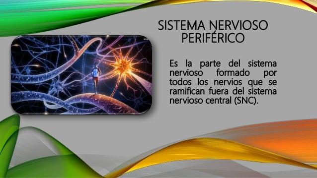 Sistema Autónomo Sistema Somático Sistema Periférico DIVISIÓN DEL SISTEMA NERVIOSO PERIFÉRICO