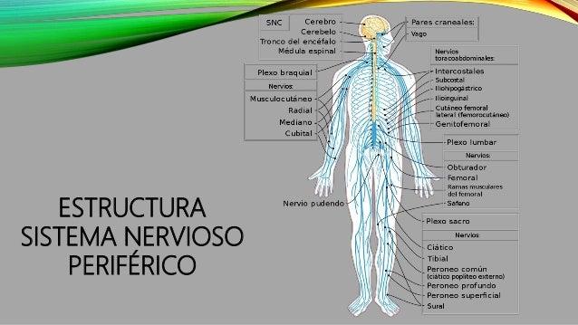 FUNCIONES DEL SISTEMA NERVIOSO PERIFÉRICO La función principal del sistema nervioso periférico es conectar al sistema nerv...