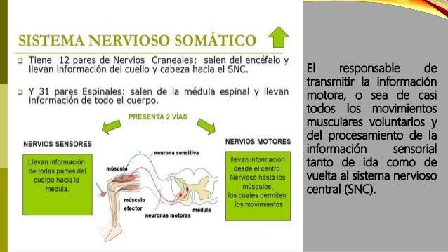 ESTRUCTURA DEL SISTEMA NERVIOSO SOMÁTICO  Neuronas sensoriales, también conocidas como neuronas aferentes, que son las re...