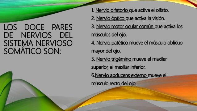LOS DOCE PARES DE NERVIOS DEL SISTEMA NERVIOSO SOMÁTICO SON: 7. Nervio facial mueve los músculos de la cara. 8. Nervio aud...