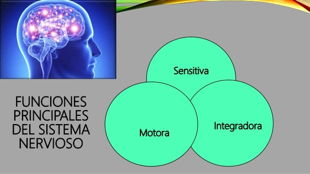 FUNCIONES PRINCIPALES DEL SISTEMA NERVIOSO Sensitiva Integradora Motora