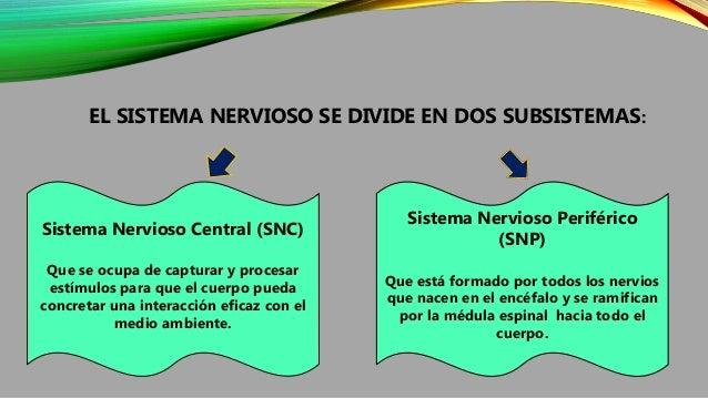 EL SISTEMA NERVIOSO SE DIVIDE EN DOS SUBSISTEMAS: Sistema Nervioso Central (SNC) Que se ocupa de capturar y procesar estím...