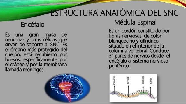 ESTRUCTURA ANATÓMICA DEL SNC Encéfalo Es una gran masa de neuronas y otras células que sirven de soporte al SNC. Es el órg...