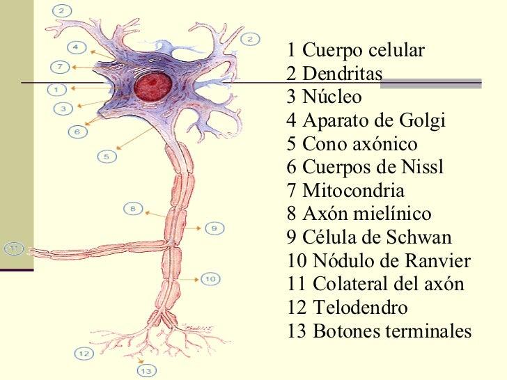 1 Cuerpo celular  2 Dendritas  3 Núcleo  4 Aparato de Golgi  5 Cono axónico  6 Cuerpos de Nissl  7 Mitocondria  8 Axón mie...