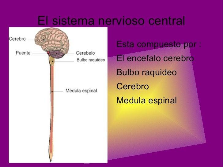 El sistema nervioso central <ul><li>Esta compuesto por :
