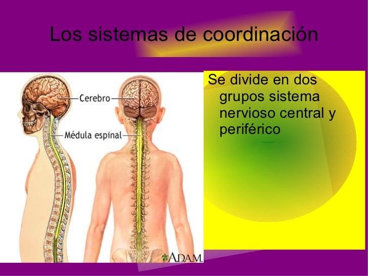 Los sistemas de  coordinación <ul><li>Se divide en dos grupos sistema nervioso central y  periférico </li></ul>