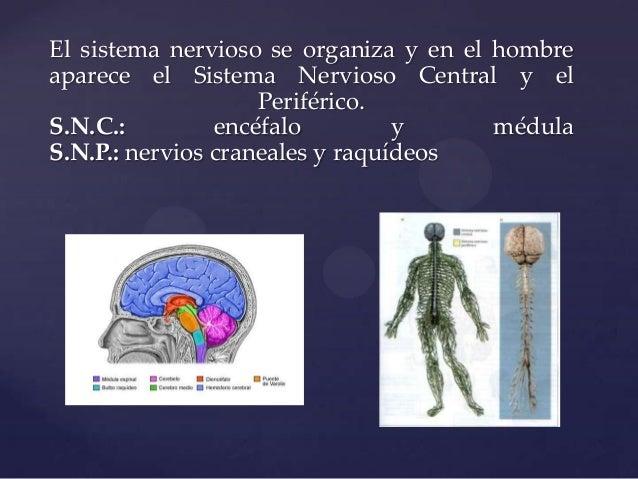 El sistema nervioso se organiza y en el hombre aparece el Sistema Nervioso Central y el Periférico. S.N.C.: encéfalo y méd...