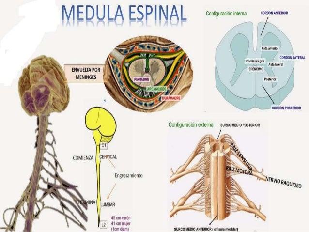 Sistema nervioso anatomia comparada